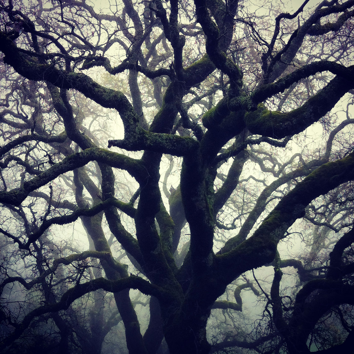 fogged-oaks-large