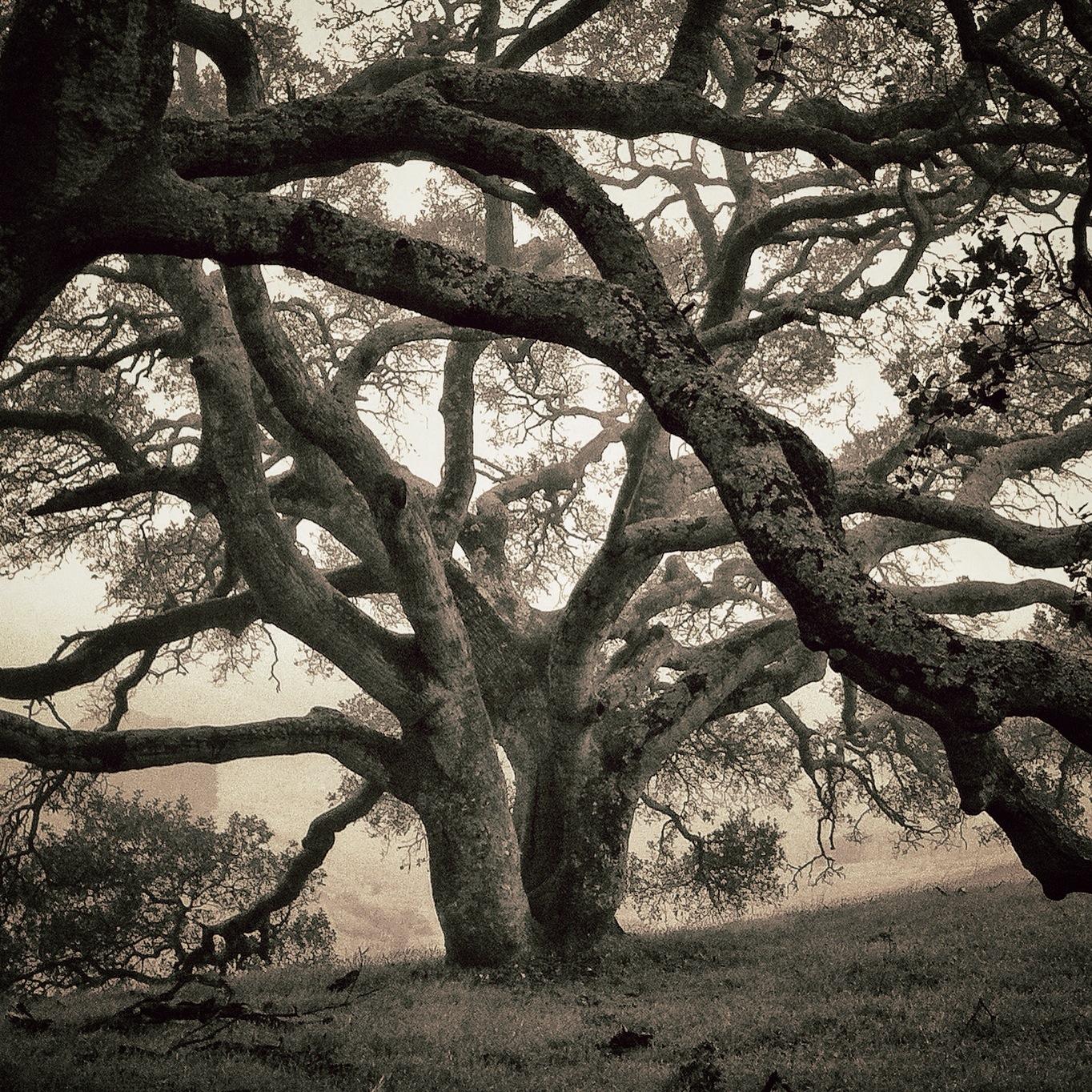 gray oaks
