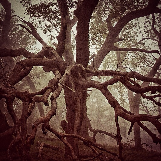 oak tentacles